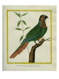 Brown-Throated Parakeet Reproduction procédé giclée par Georges-Louis Buffon