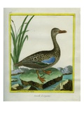 Yellow-Billed Teal Reproduction procédé giclée par Georges-Louis Buffon
