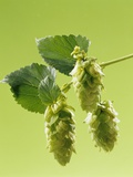 Sprig of Hops Photographic Print by Ludger Rose