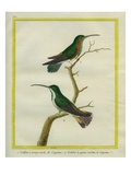 Green-Throated Mango and Violet-Tailed Sylph Reproduction procédé giclée par Georges-Louis Buffon