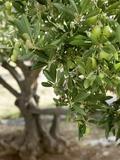 Olivenbaum Fotografie-Druck von  Rogge & Jankovic