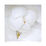 Magnolia Flower Abstract No 236 Giclee Print by Shams Rasheed