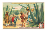 Extraction of Pulque, Magueys, Mexico Stampa