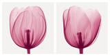 Tulips [Positive] Posters por Steven N. Meyers