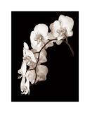 Orchid Dance II Giclée-tryk af John Rehner