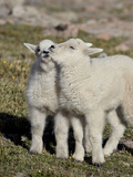 Two Mountain Goat Kids Playing, Mt Evans, Arapaho-Roosevelt Nat'l Forest, Colorado, USA Impressão fotográfica por James Hager