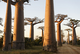 The Alley of the Baobabs (Avenue de Baobabs), Between Morondava and Belon'I Tsiribihina, Madagascar Reproduction photographique par J P De Manne