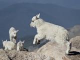 Mountain Goat Kid Jumping, Mt Evans, Arapaho-Roosevelt Nat'l Forest, Colorado, USA Impressão fotográfica por James Hager