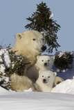 Polar Bear (Ursus Maritimus) and Cubs, Wapusk National Park, Churchill, Hudson Bay, Canada Fotografisk trykk av David Jenkins