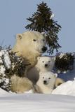 Polar Bear (Ursus Maritimus) and Cubs, Wapusk National Park, Churchill, Hudson Bay, Canada 写真プリント : David Jenkins
