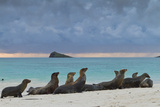 Galapagos Sea Lions (Zalophus Wollebaeki), Gardner Bay, Espanola Islands, UNESCO Site, Ecuador Lámina fotográfica por Michael Nolan