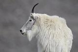 Mountain Goat (Oreamnos Americanus), Mount Evans, Arapaho-Roosevelt National Forest, Colorado, USA Fotografie-Druck von James Hager