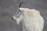 Mountain Goat (Oreamnos Americanus), Mount Evans, Arapaho-Roosevelt National Forest, Colorado, USA Lámina fotográfica por James Hager