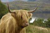 Highland Cattle Above Loch Katrine, Loch Lomond and Trossachs National Park, Stirling, Scotland, UK Impressão fotográfica por Gary Cook