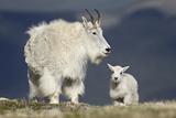 Mountain Goat Nanny and Kid, Mt Evans, Arapaho-Roosevelt Nat'l Forest, Colorado, USA Fotografisk tryk af James Hager