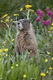 Yellow-Bellied Marmot Among Wildflowers, San Juan Nat'l Forest, Colorado, USA Fotografisk tryk af James Hager