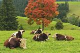 Bulls on Pasture and Maple Tree, Black Forest, Schwarzwald-Baar, Baden-Wurttemberg, Germany, Europe Fotografisk tryk af Jochen Schlenker