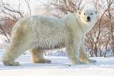 Polar Bear (Ursus Maritimus), Wapusk National Park, Churchill, Hudson Bay, Manitoba, Canada Stampa fotografica di David Jenkins