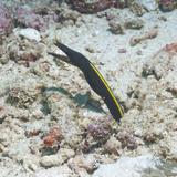 Blue Ribbon Eel (Rhinomuraena Quaesita) Juvenile, Southern Thailand, Andaman Sea, Indian Ocean Fotografisk tryk af Andrew Stewart