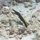 Blue Ribbon Eel (Rhinomuraena Quaesita) Juvenile, Southern Thailand, Andaman Sea, Indian Ocean Fotografie-Druck von Andrew Stewart