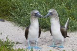 Blue-Footed Booby (Sula Nebouxii) Pair, North Seymour Island, Galapagos Islands, Ecuador Fotografie-Druck von Michael Nolan