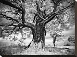 Portrait of a Tree, Study 2 Stretched Canvas Print by Marcin Stawiarz