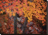 Suspended Maple Leaves Stretched Canvas Print by Michael Hudson