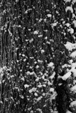 Snow Bark Photographic Print by Craig Howarth