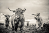 Highland Cattle Fotografie-Druck von Mark Gemmell