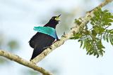A Male Superb Bird of Paradise Calling Stampa fotografica di Tim Laman