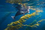 A Harbor Seal Peers from a Kelp Forest on Cortes Bank Fotografisk tryk af Brian J. Skerry
