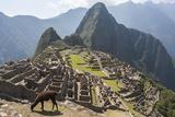 A Llama Grazing on the Grounds of Machu Picchu, an Ancient Inca City Fotografisk tryk af Jonathan Irish