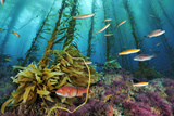 A sheephead and wrasses swim through a forest of coralline algae. Photographic Print by Brian Skerry
