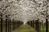 Bright Rows of Blossoming Pear Trees Line a Nursery in Spring Photographic Print by Stephen St. John