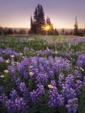 Sunrise in Mt. Rainier National Park During Wildflower Season Photographic Print by Miles Morgan