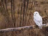Snowy Owl Perched on Log Impressão fotográfica por Mike Cavaroc