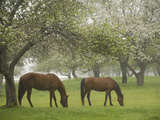 Two Horses Eating in Spring Pasture, Cape Elizabeth, Maine Photographic Print by Nance Trueworthy