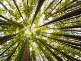 Redwood Trees in Mt. Tamalpais State Park, Adjacent to Muir Woods National Monument in California Fotografisk trykk av Carlo Acenas