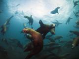 California Sea Lions  Swimming Underwater Off Anacapa Island. Photographic Print by Ian Shive