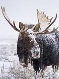 Bull Moose Covered in Snow Fotografisk trykk av Mike Cavaroc