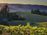 Healdsberg, Sonoma County, California: Vineyard and Winery at Sunset. Lámina fotográfica prémium por Ian Shive