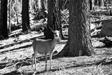 Wild deer - Yosemite National Park - Californie - United States Photographic Print by Philippe Hugonnard