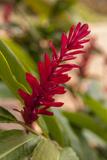 Ginger Flower, Carambola Botanical Gardens, Roatan, Honduras Fotografisk tryk af Lisa S. Engelbrecht