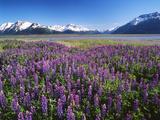 Kenai National Wildlife Refuge, Lupines in Bloom and Kenai Mountains, Alaska, USA Photographic Print by Adam Jones