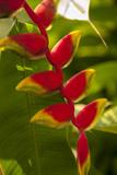 Heliconia Tropical Flowers, Roatan, Honduras Fotoprint van Lisa S. Engelbrecht