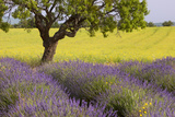 Lone Tree, Lavender and Mustard Fields Near Valensole, Provence, France Fotoprint van Brian Jannsen