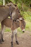 Donkey Mother and Foal Fotografisk tryk af Brian Jannsen