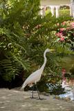 White Egret Tropical Bird, Bavaro, Higuey, Punta Cana, Dominican Republic Fotoprint van Lisa S. Engelbrecht