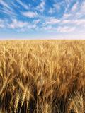 Wheat Field, Oregon, USA Valokuvavedos tekijänä Stuart Westmorland