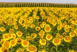 Sunflower and Corn Field in Morning Light in Michigan, North Dakota, USA Fotografie-Druck von Chuck Haney